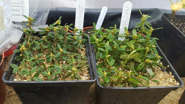 Evergreen cuttings
