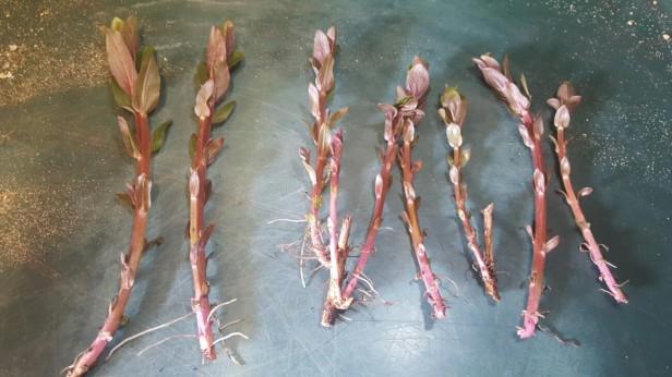 When should I take basal cuttings?