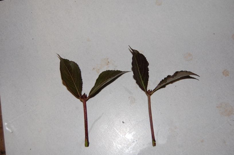 taking cuttings of weigela