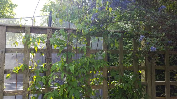 Propagate clematis by immature softwood cuttings.
