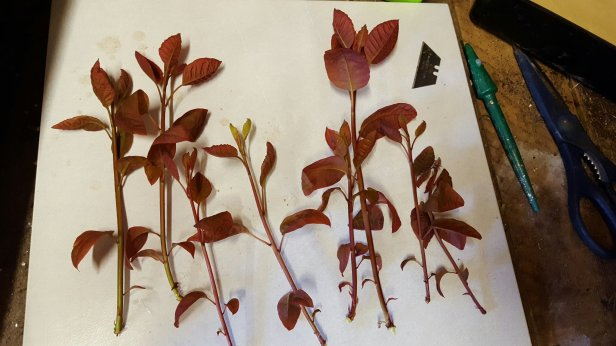 Softwood cuttings of cotinus.