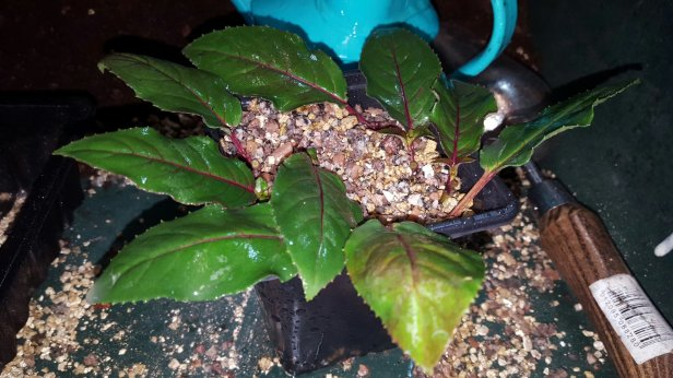 How to propagate fuschia by cuttings.