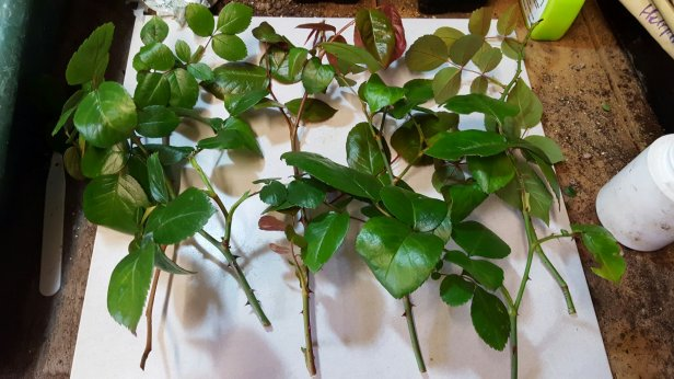 Cuttings of climbing roses.