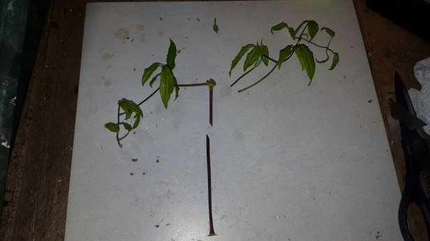 How to take cuttings of clematis.