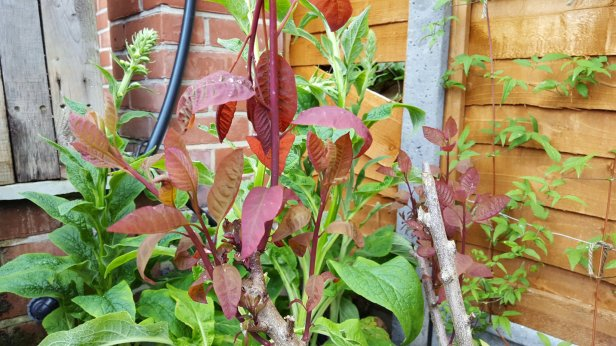 How to manage softwood cuttings of cotinus
