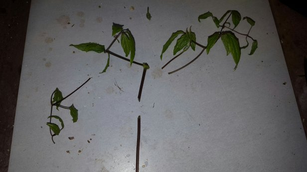 Improve chances of taking clematis cuttings