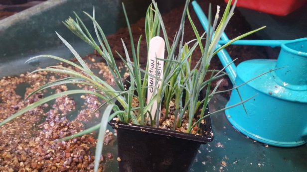 How to propagate carnations dianthus pinks