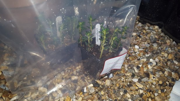 when to propagate ceonothus