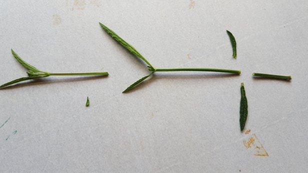 can i take cuttings from verbena bonariensis