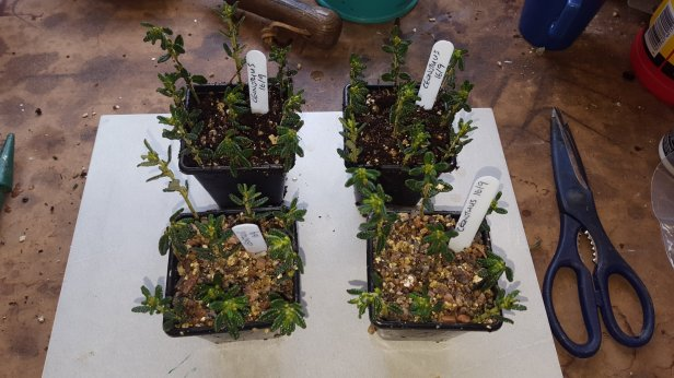 how to take cuttings from ceonothus