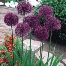 1015572_allium_purple_sensation2058797419.jpg