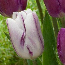 tulip_flaming_flag_single_11025726246.jpg