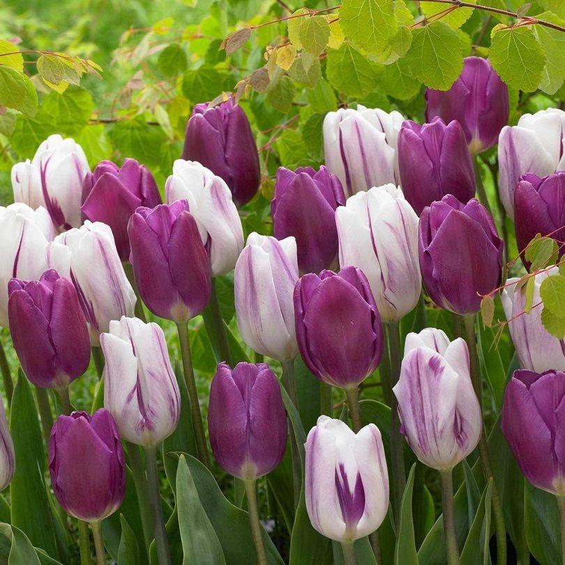 tulip_purple_flaga_1006996_11138632830.jpg