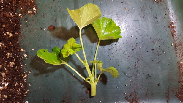 Propagating pelargoniums by cuttings