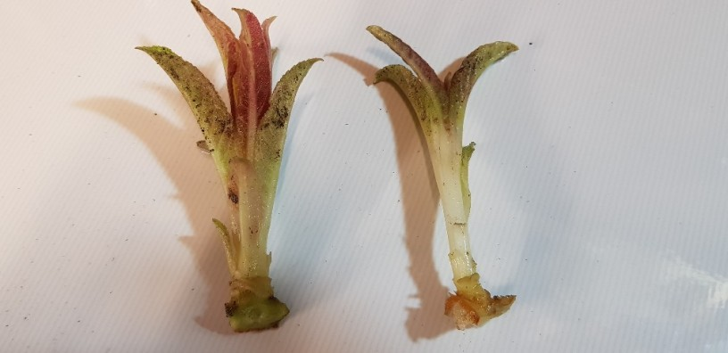 Basal cuttings of lobelia tupa – The Propagator